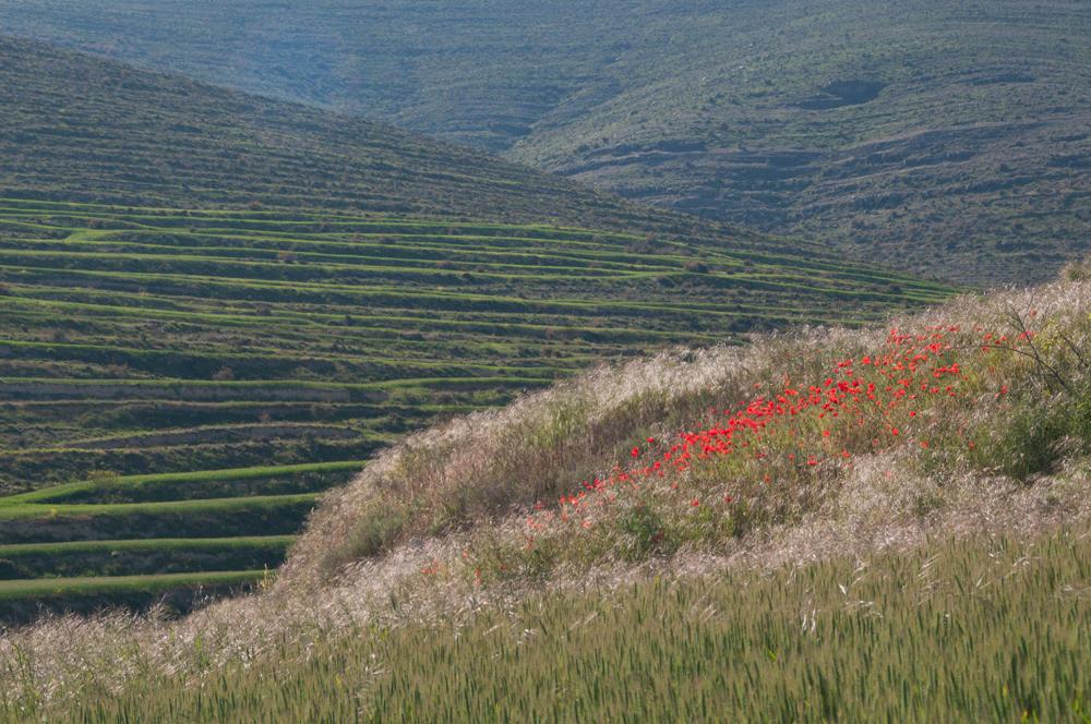 Navajun Terraces and Poppies