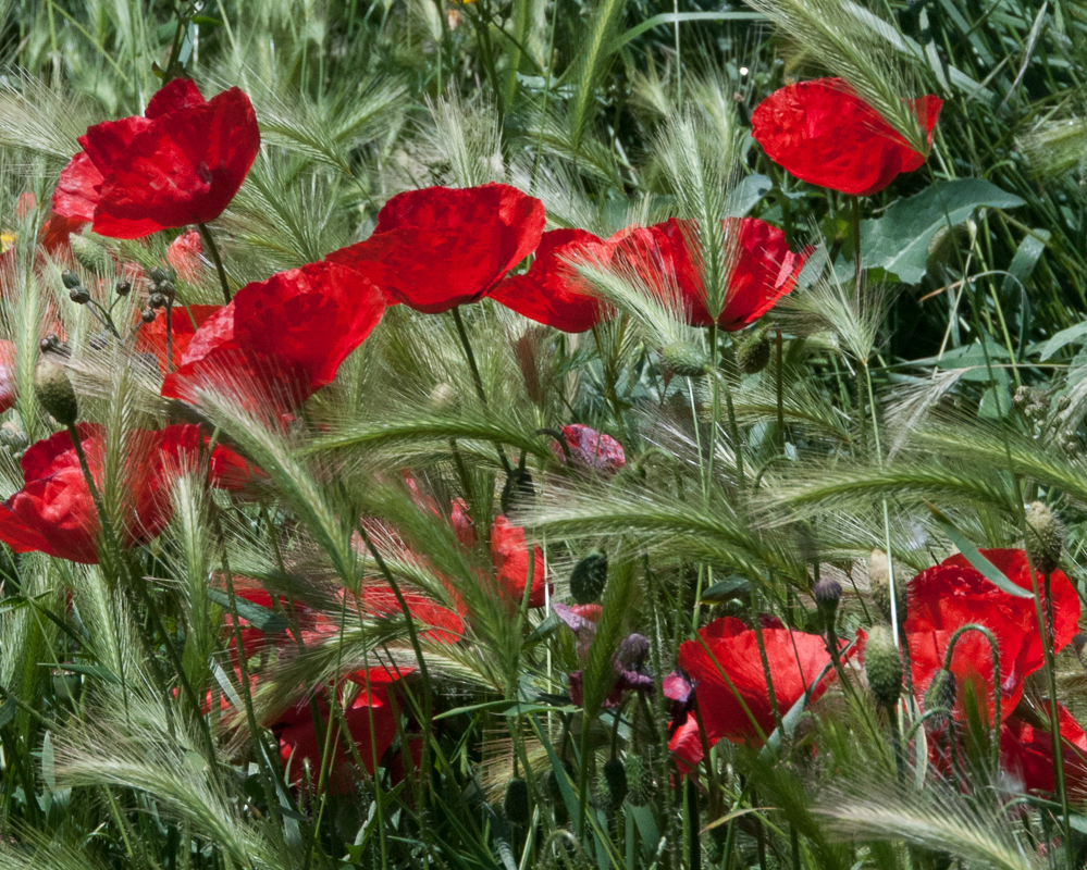 Poppies and Foxtail Grass