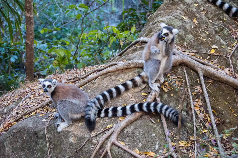 LemursScovil