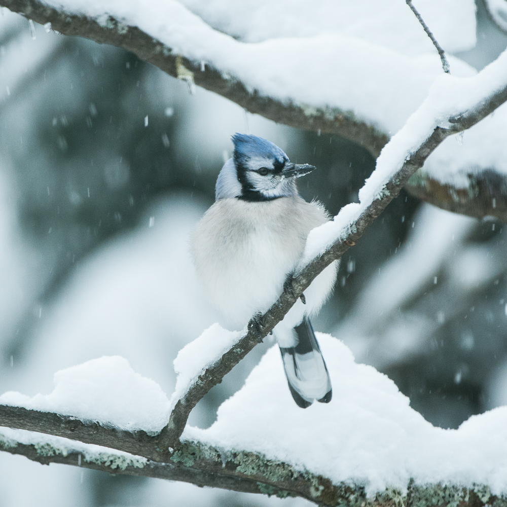 Blue Jay, Bancroft, Ontario, Canada
