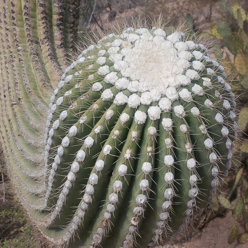 Saguaro arm